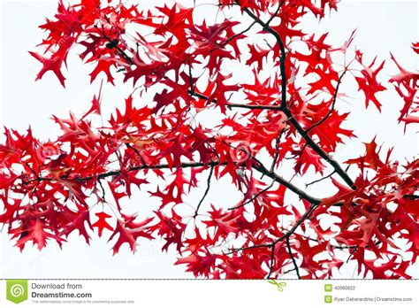 Red Fall Leaves On White Background Stock Photo Image 40980822 Fall Leaves On White Background