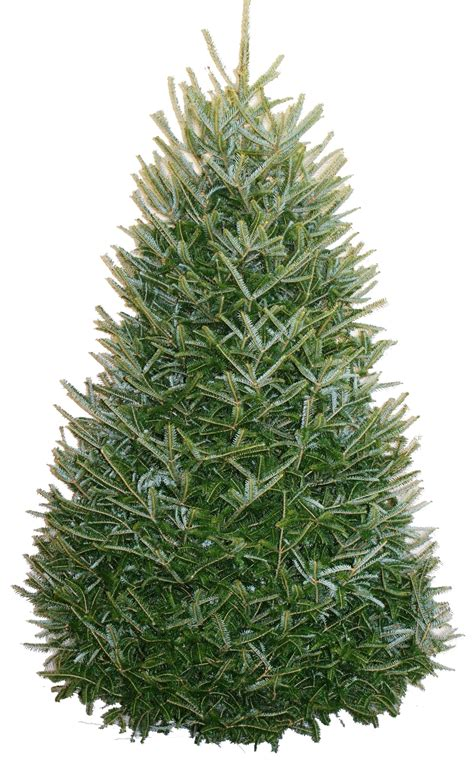 products carolina fraser fir company