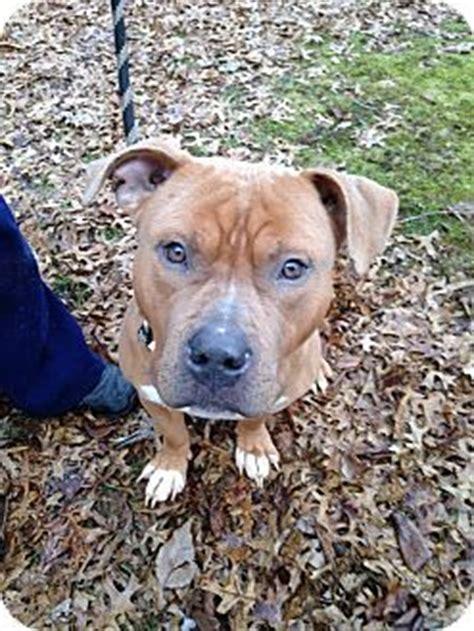 pitbull puppies for adoption ny ridgewood ny american pit bull terrier mix meet stonehenge a for adoption