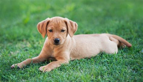 how to your to lay and stay teach your to lay and stay the labrador site