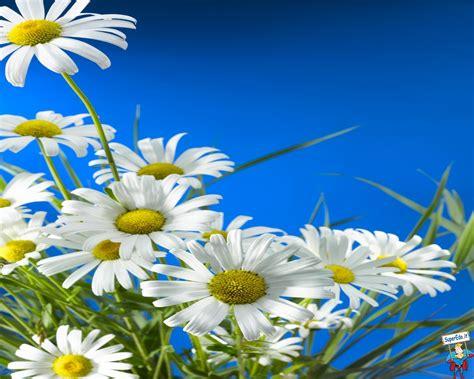 foto fiori hd foto margherite hd foto in alta definizione hd