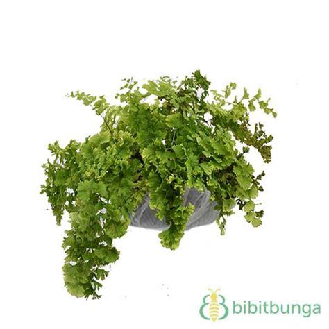 Benih Tanaman Seledri tanaman suplir seledri bibitbunga