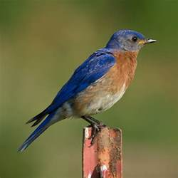 Attract Bluebirds Your Backyard by Attract Bluebirds To Your Yard With This One Simple Tip