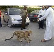 Pet Cheetah In Parking Lot Catches Onlookers By Surprise
