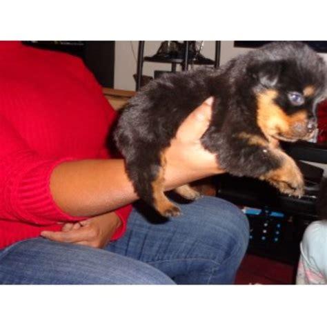rottweiler puppies in jacksonville fl vom born hutter kennels rottweiler breeder in jacksonville florida listing id 22569