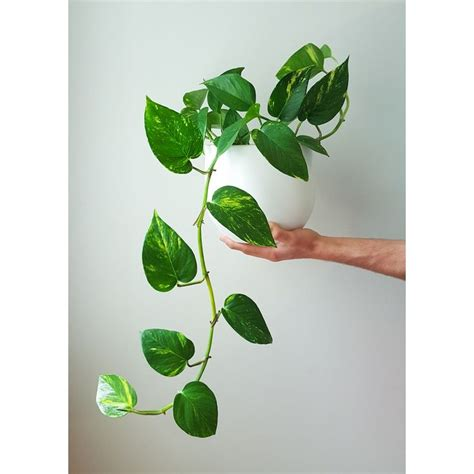 indoor vine plant best 25 golden pothos ideas on golden pothos