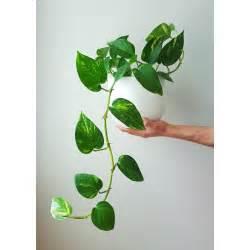 indoor vine plant 25 best ideas about golden pothos on pinterest golden