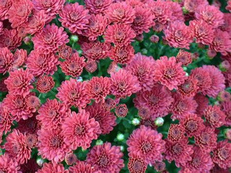 mum flower arrangement pink jpeg caring for mums hgtv