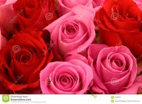 Pink And Red Roses Pink And Red Roses Royalty Free Stock Images Image 1333379
