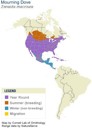 dove migration map texas mourning dove identification all about birds cornell lab of ornithology