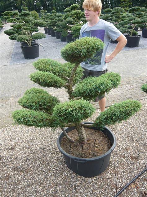 garten bonsai winterfest machen pflanzenspecial gartenbonsai kostbarkeiten japans