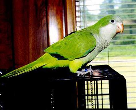 quaker parrot monk parakeet facts diet lifespan pet care pictures