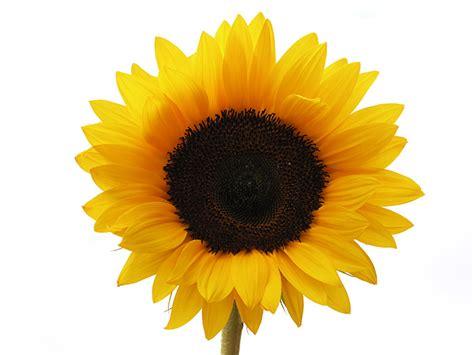 sunflower  images  clkercom vector clip art
