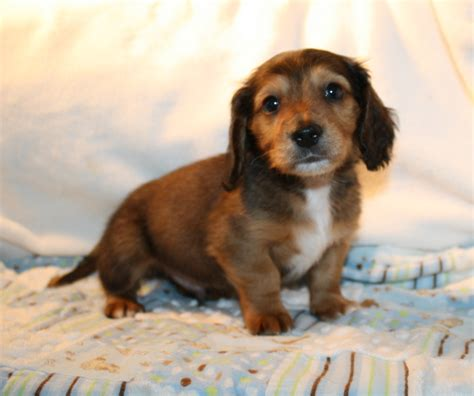miniature dachshund puppies for sale nc dachshund puppies and dogs for sale and adoption in carolina breeds picture