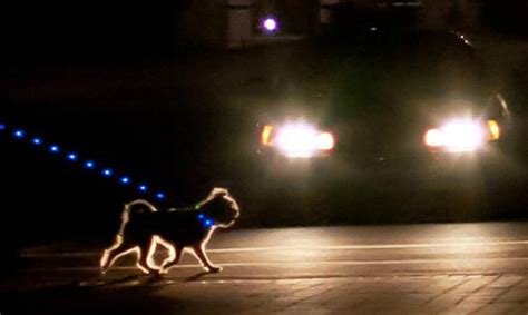 light for walking at night 11 things only night h owl pup parents understand