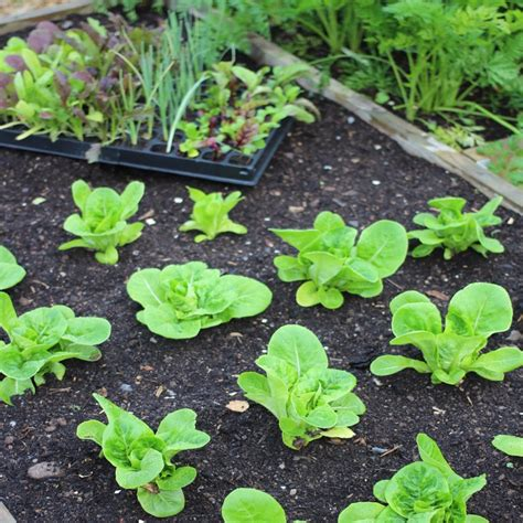 Advice For Raised Bed Vegetable Growers What To Plant Where In A Vegetable Garden