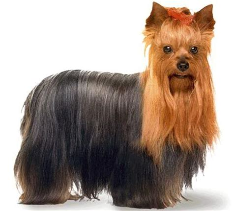 owning a yorkie yorkies viral everyone wants a yorkie yorkie everyday with yorkies