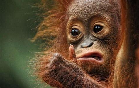 foto ekspresi lucu bayi orangutan bikin kamu jadi