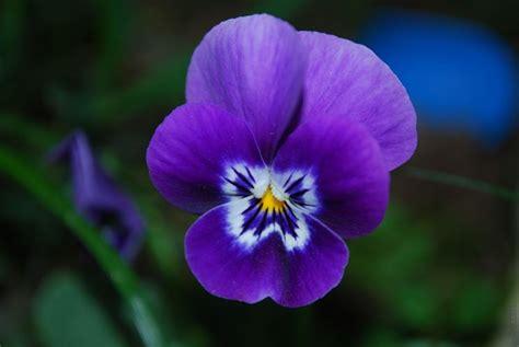 violette fiore violetta fiore piante annuali caratteristiche
