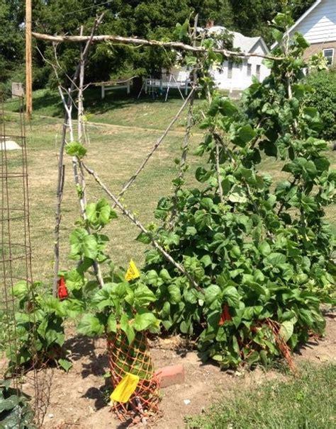 Vegetable Garden Trellis Ideas Photograph Vegetable Garden Vegetable Garden Trellis Ideas