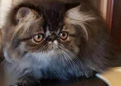 gatti persiani in regalo regalo adozione gatti persiani valdobbiadene