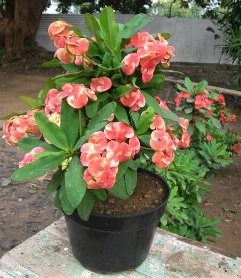 tanaman bunga  pot tanamanbungacom
