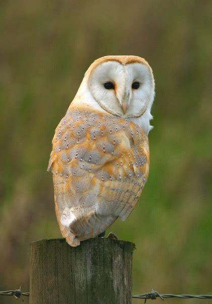 Barn Owls Totem Symbolism 171 Galaxy Dreams Owl Meanings