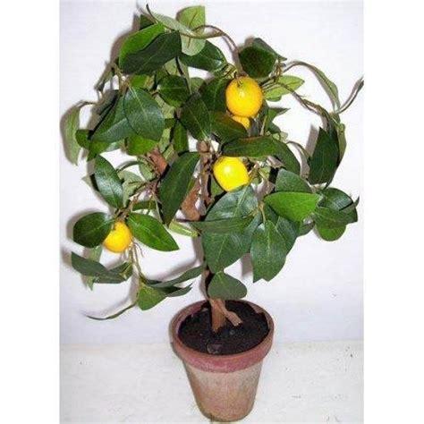 come curare il limone in vaso come curare un bonsai di limone fare bonsai curare un