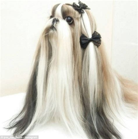 haired shih tzu dogs meet the shih tzu dogs with better hair than you fur shih tzus and