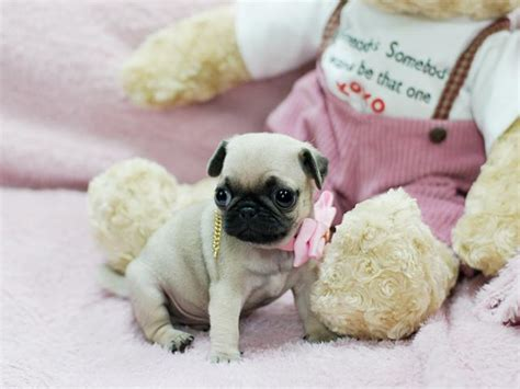 teacup pugs puppies for sale fawn teacup pug puppies for sale sydney buy and sell australian classifieds