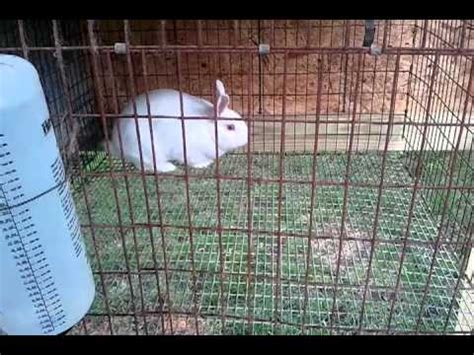 backyard meat rabbits raising baby rabbits for food or pets doovi