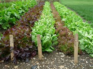 how to grow lettuce from seed the garden of eaden