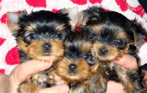 tiny teacup puppies dogs terrier maltese puppy for sale dogs maltese teacup breeds picture
