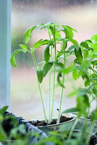 starting seedlings  grow lights  natural light