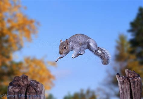 Squirrel Leaping Animals in Action Image, WP09252.