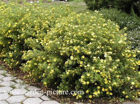 partial sun flowering shrubs 1000 images about zone 3 gardening on trees