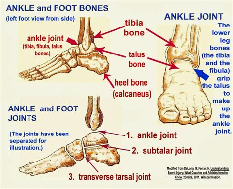 diagram of joints in the foot anatomy joints human anatomy diagram