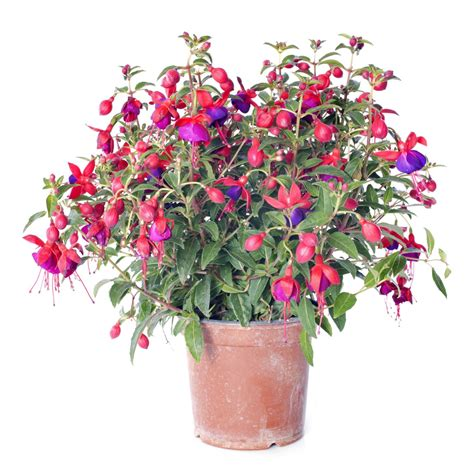 how to a to indoors how to grow fuchsias indoors learn about fuchsia plant care indoors