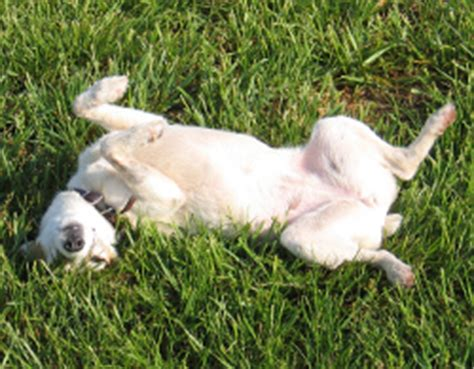 how to teach a puppy to roll tips how to teach a to roll
