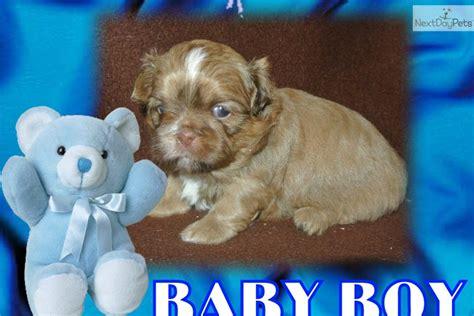 shih tzu puppies for sale in charleston sc shih tzu puppy for sale near charleston south carolina 7bb6c855 c991