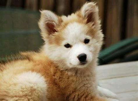 golden retriever half husky the 30 most important huskies of 2015