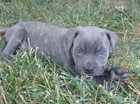 blue corso puppies for sale corso puppy puppies for sale