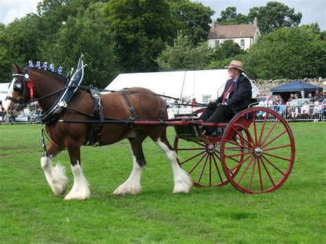 pulling cart clydesdale breed profile
