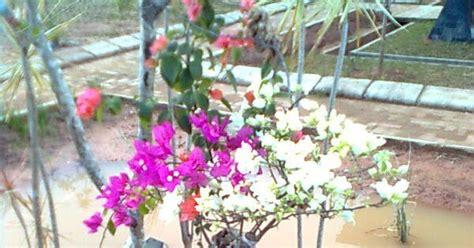 tanaman bougainvillea bunga kertas sinox nursery