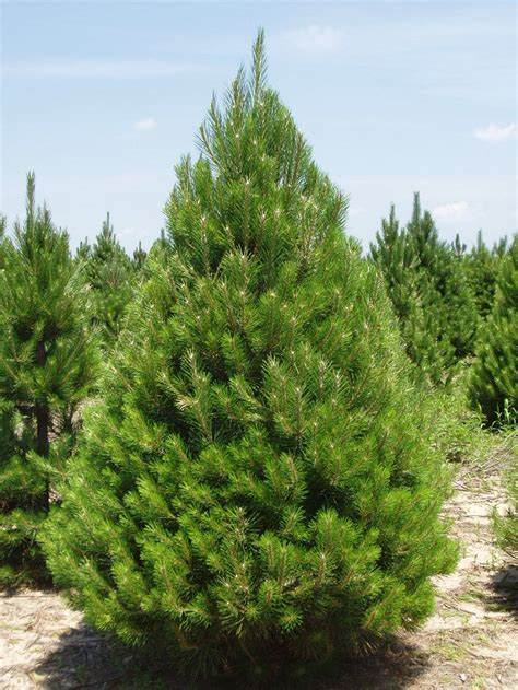 austrian pine black pine tree diseases growth rate