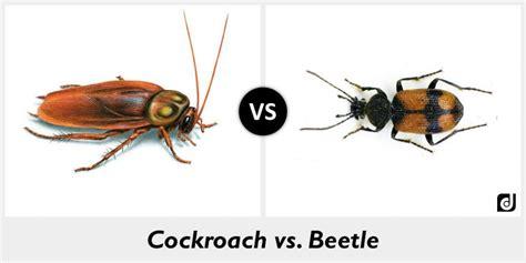 Schabe Kakerlake Unterschied by Beetle Vs Cockroach Www Pixshark Images Galleries