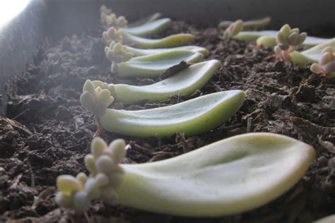 How To Grow Succulents From Leaf Cuttings Lil Blue Boo - friday s fresh five 9 4 15 what about this