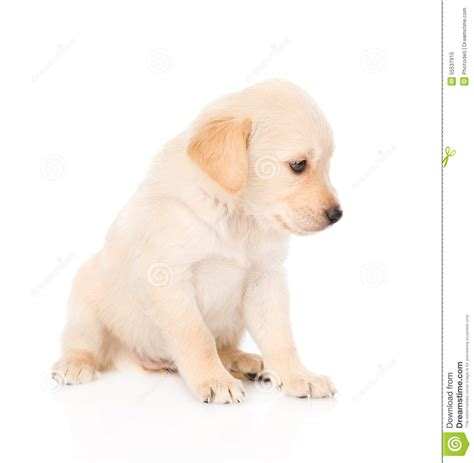 puppy profile golden retriever puppy in profile isolated on white stock photo image 55537915