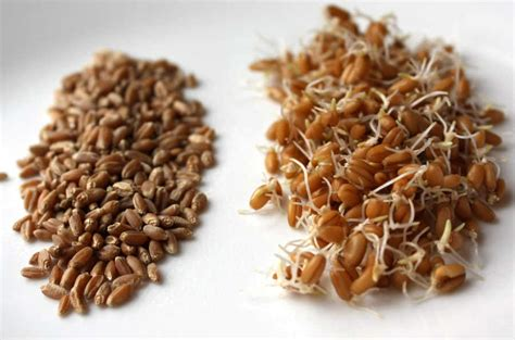 whole grains pros and cons pros and cons of soaked and sprouted wheat products