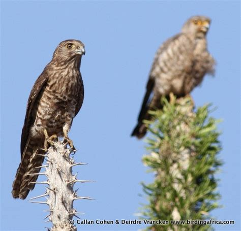 Mad Kestrel bird images photographed on the 2010 birding africa